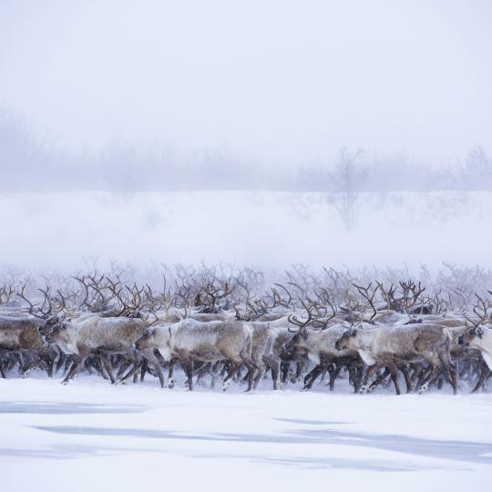 a herd of reindeer migrate across the western arctic in the northwest territories.