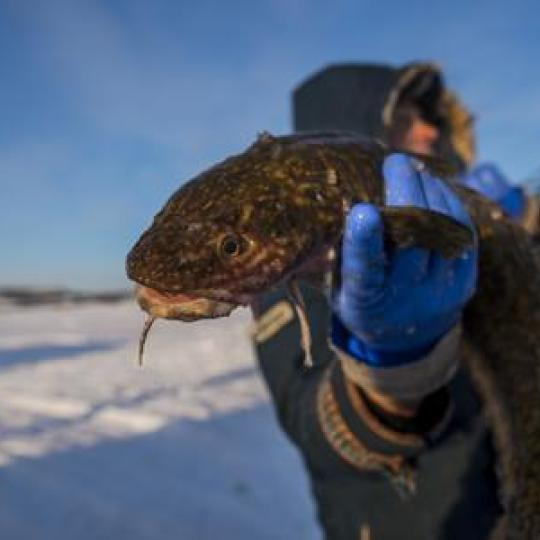 ice fishing for burbot lingcod