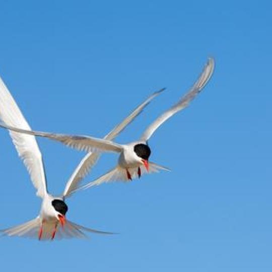 Arctic terns in flight