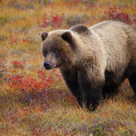 Grizzly Bear on the Barrens