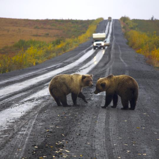 Two grizzly bears crowd the highway on a road trip in Canada's Northwest Territories
