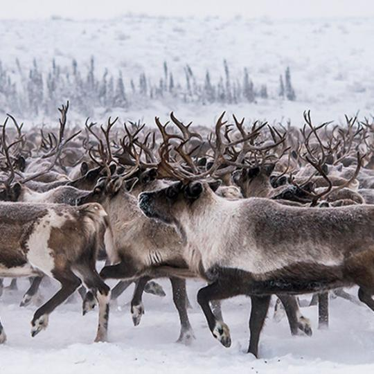 Herd of wild caribou in the Arctic tundra.