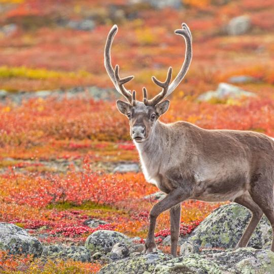 Caribou on the tundra