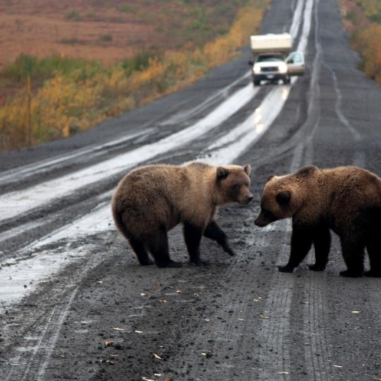 grizzly bears walk down the road in the spectacular Northwest Territories
