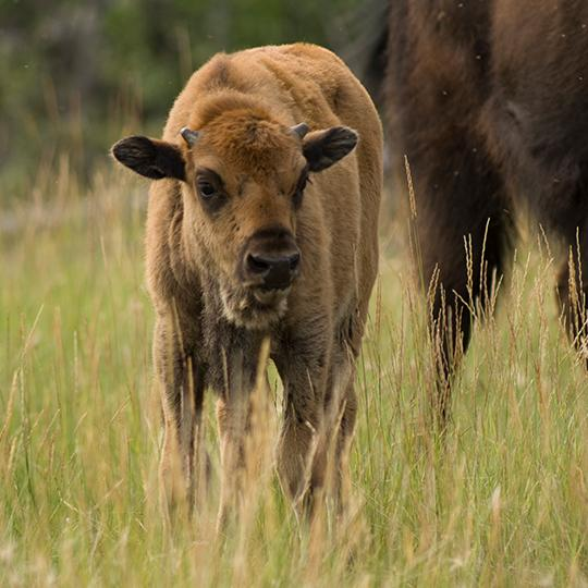 Wood Bison calf in Wood Buffalo National Park in the NWT