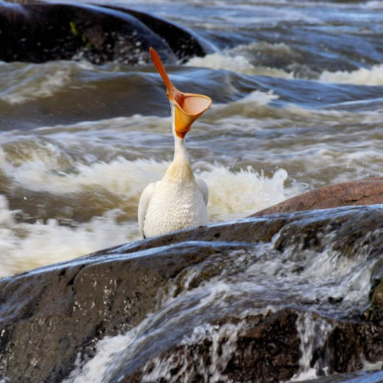 A pelican in the Slave Lake in Fort Smith surrounding by rushing rapids.