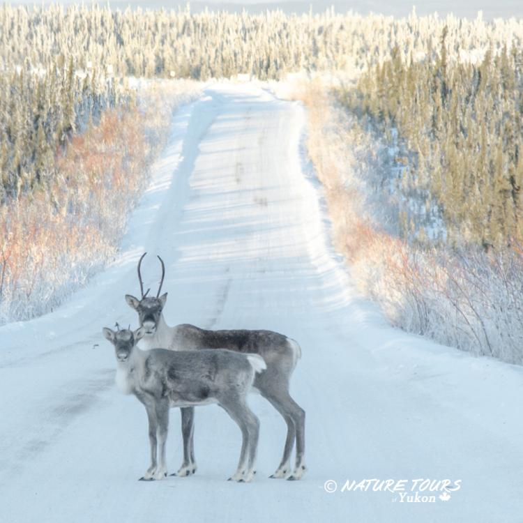 Nature Tours of Yukon - Arctic Discovery Tour - caribou on the Dempster Highway