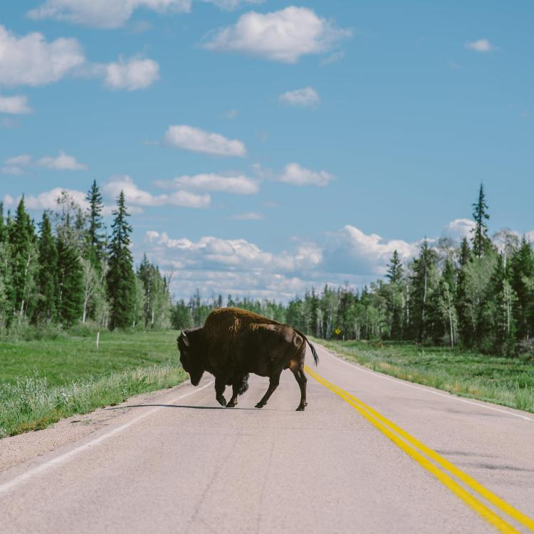 Wood Bison at Wood Buffalo National Park