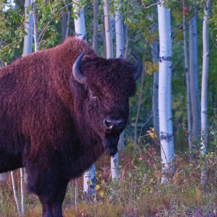 Wood bison in the South Slave of the NWT
