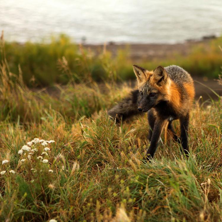 Fox in a meadow in Tulita