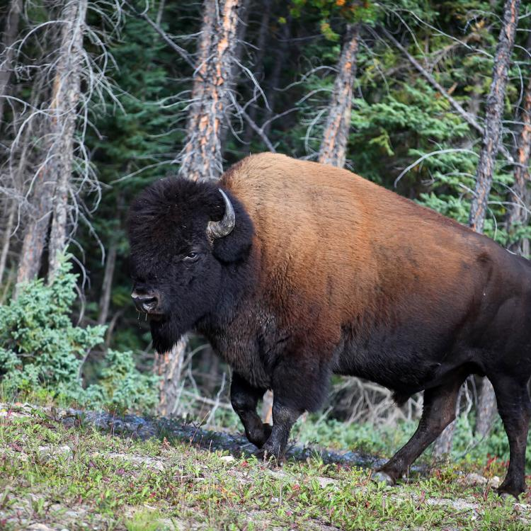 Wood bison in Enterprise