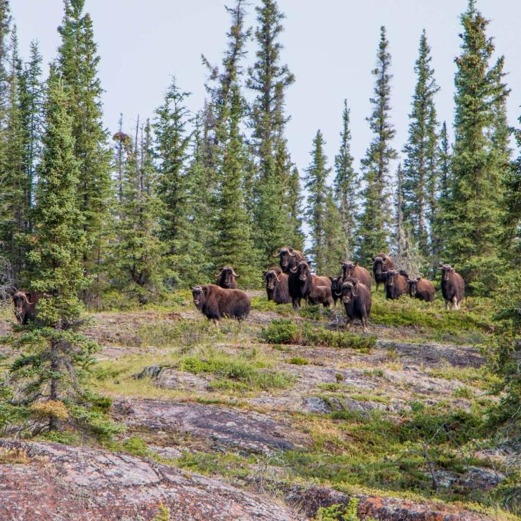Muskox amongst the trees