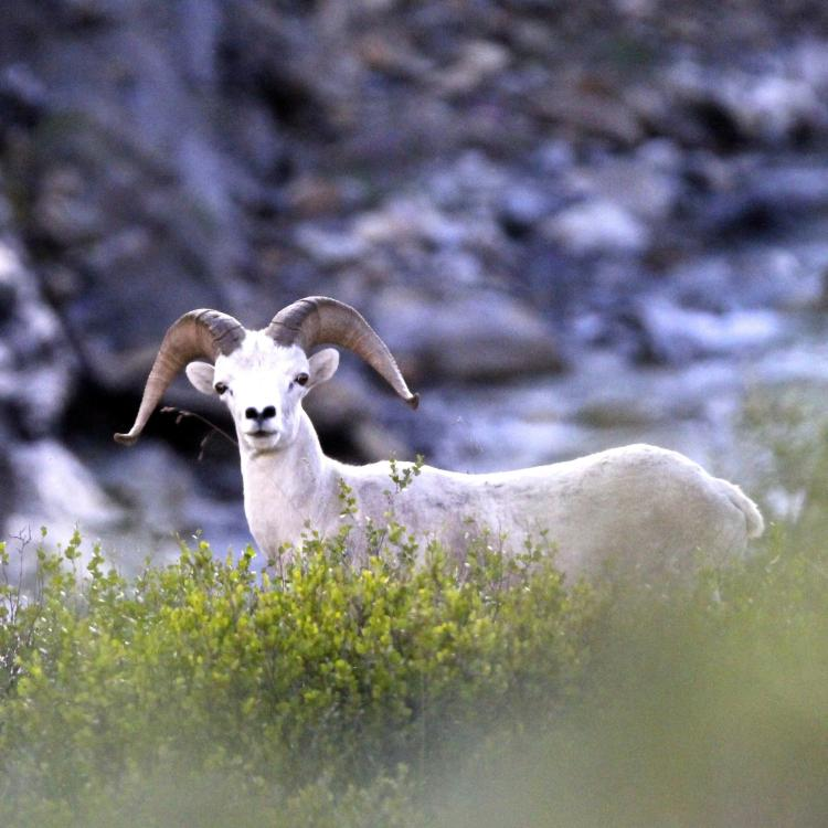A Dall Sheep peeking its head out of the brush in the Mackenzie Mountains in the Northwest Territories.