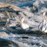 Pelicans in the rapids near Fort Smith in the NWT