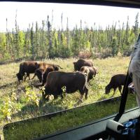 Bison grazing along the side of the highway in the Northwest Territories