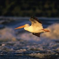 A pelican in flight at the Slave Lake in Fort Smith surrounding by rushing rapids.