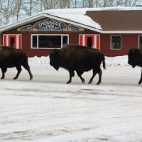 Three bison walking by the Snowshoe Inn in Fort Providence in winter in the NWT.