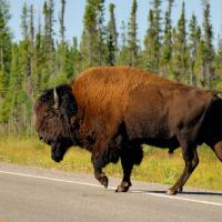 Bison in wood buffalo park near Fort Providence in the NWT