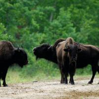 Wood Buffalo Bison near Fort Smith in the Northwest Territories