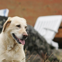 A white labrador dog sitting at Yellow Dog Lodge, Inc. in the Northwest Territories.