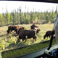 North Star Adventures a group of wood buffalo along the side of the road grazing view from the car in the NWT.