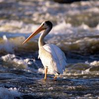 A black and white Pelican on the Slave rapids in Fort Smith Northwest Territories.