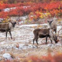 Barrenground Caribou Migration in Autumn during the annual Arctic Photography Adventure