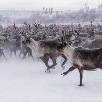 Arctic Adventure Tours visiting the large reindeer herd in Inuvik Western Arctic Region NWT.