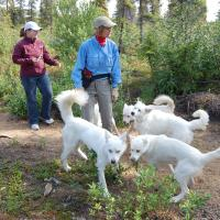 Arctic Adventure Tours with their white coated sled dogs in summer in Inuvik Western Arctic Region NWT.