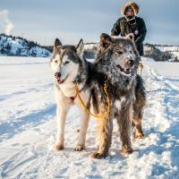 Sundog Adventures' two huskies, Rooster and Wacko, leading a kicksled with a person in Yellowknife, NWT.