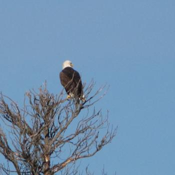 A bald eagle perching on a tree branch in Fort Simpson in the Northwest Territories.
