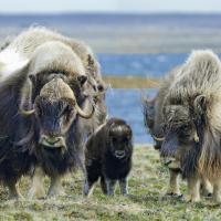 muskoxen in aulavik