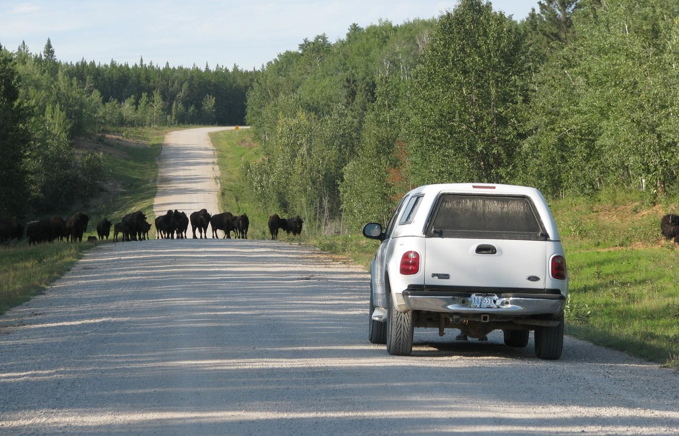 bison on highway in wood buffalo