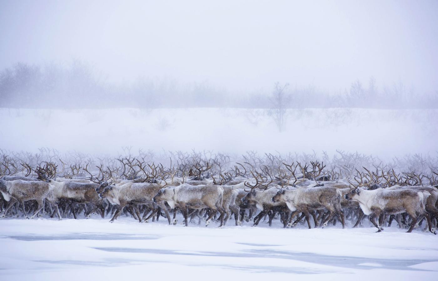 A reindeer herd moves through a snowy landscape in the Arctic