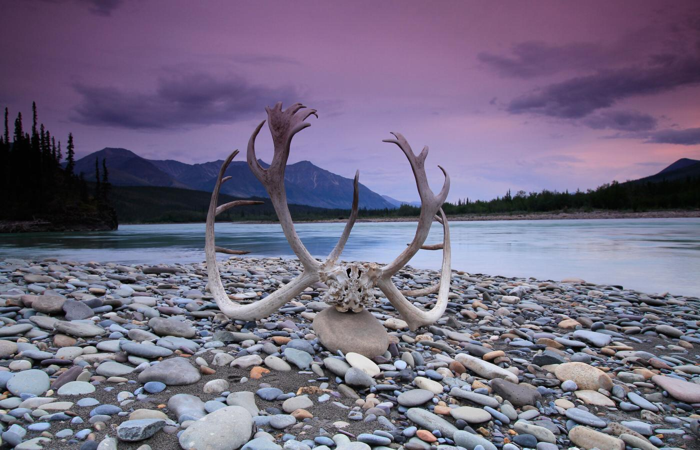 A caribou rack at dusk in the Northwest Territories