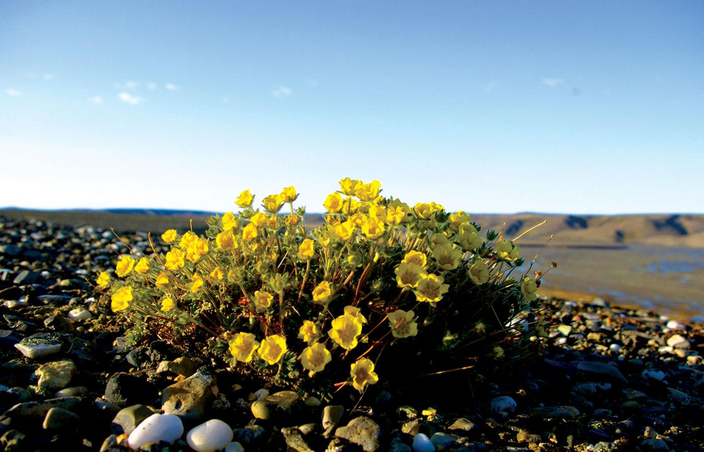 Aulavik National Park, on Banks Island in Canada's Northwest Territories, is blanketed with wildflowers in the summer months.