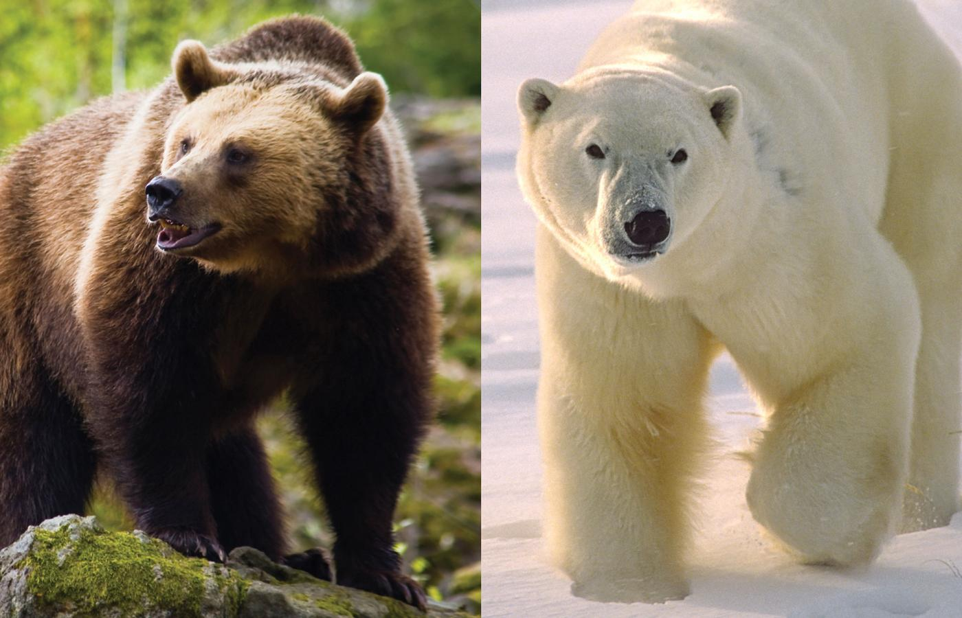 Two polar-grizzly bear hybrids have been reported in the Northwest Territories.