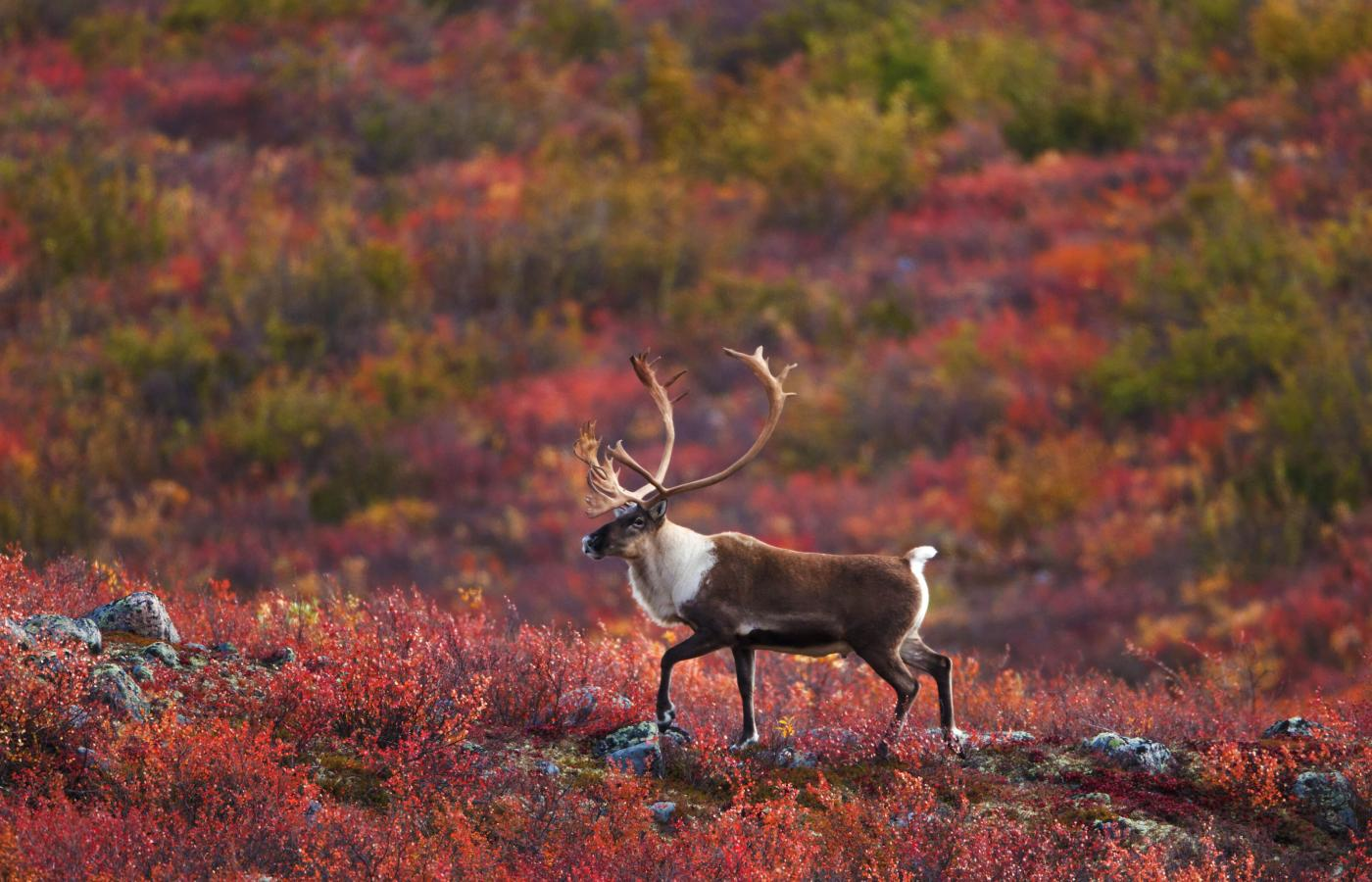 Caribou in their habitat in the Northwest Territories