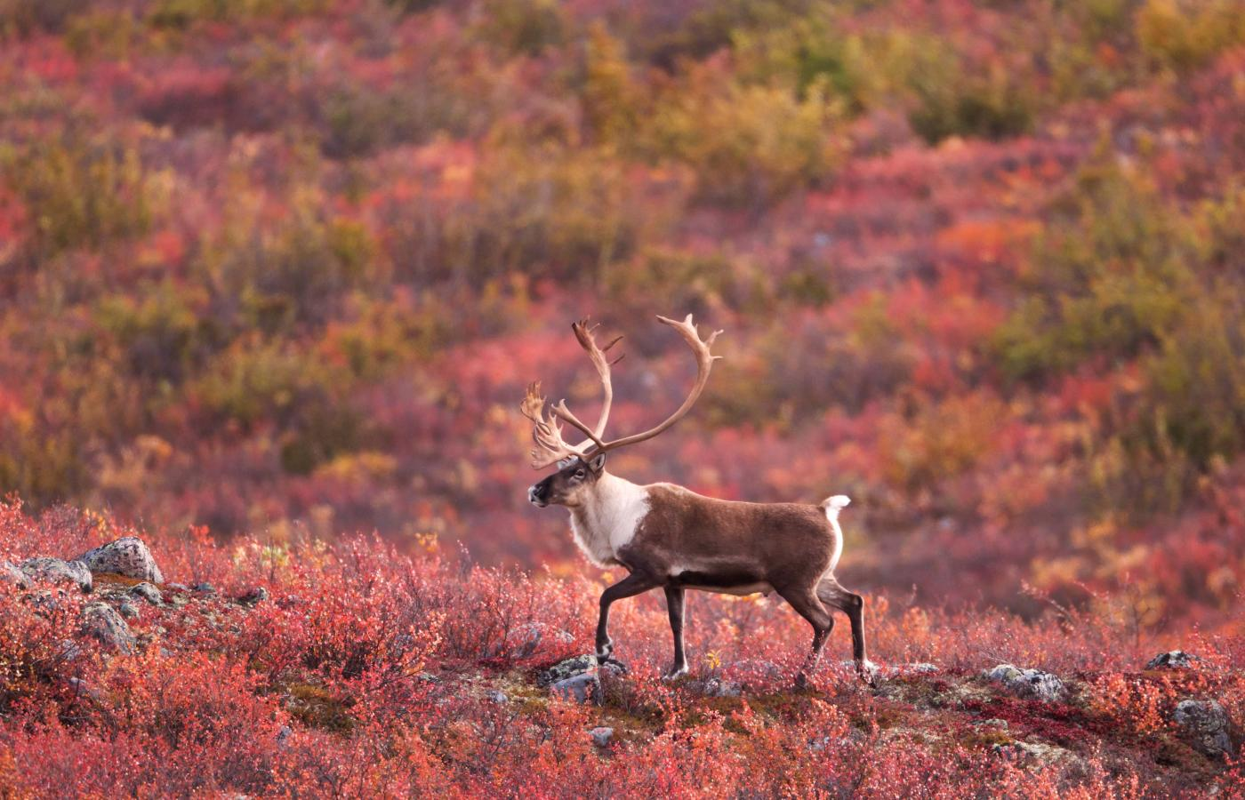 barrenland caribou on the tundra