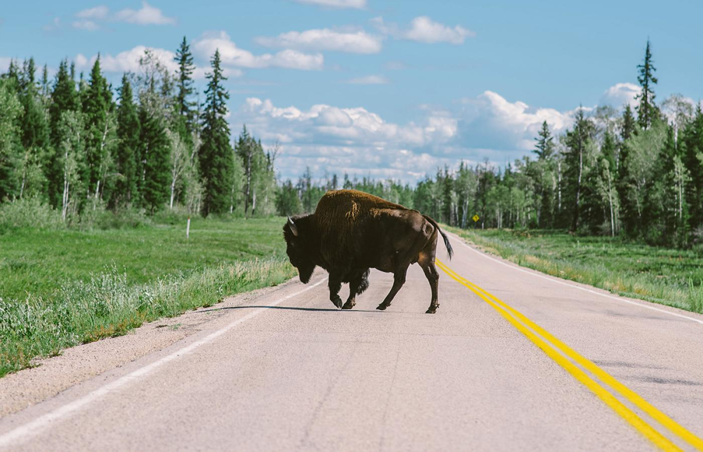 A wood bison on a highway in Canada's Northwest Territories