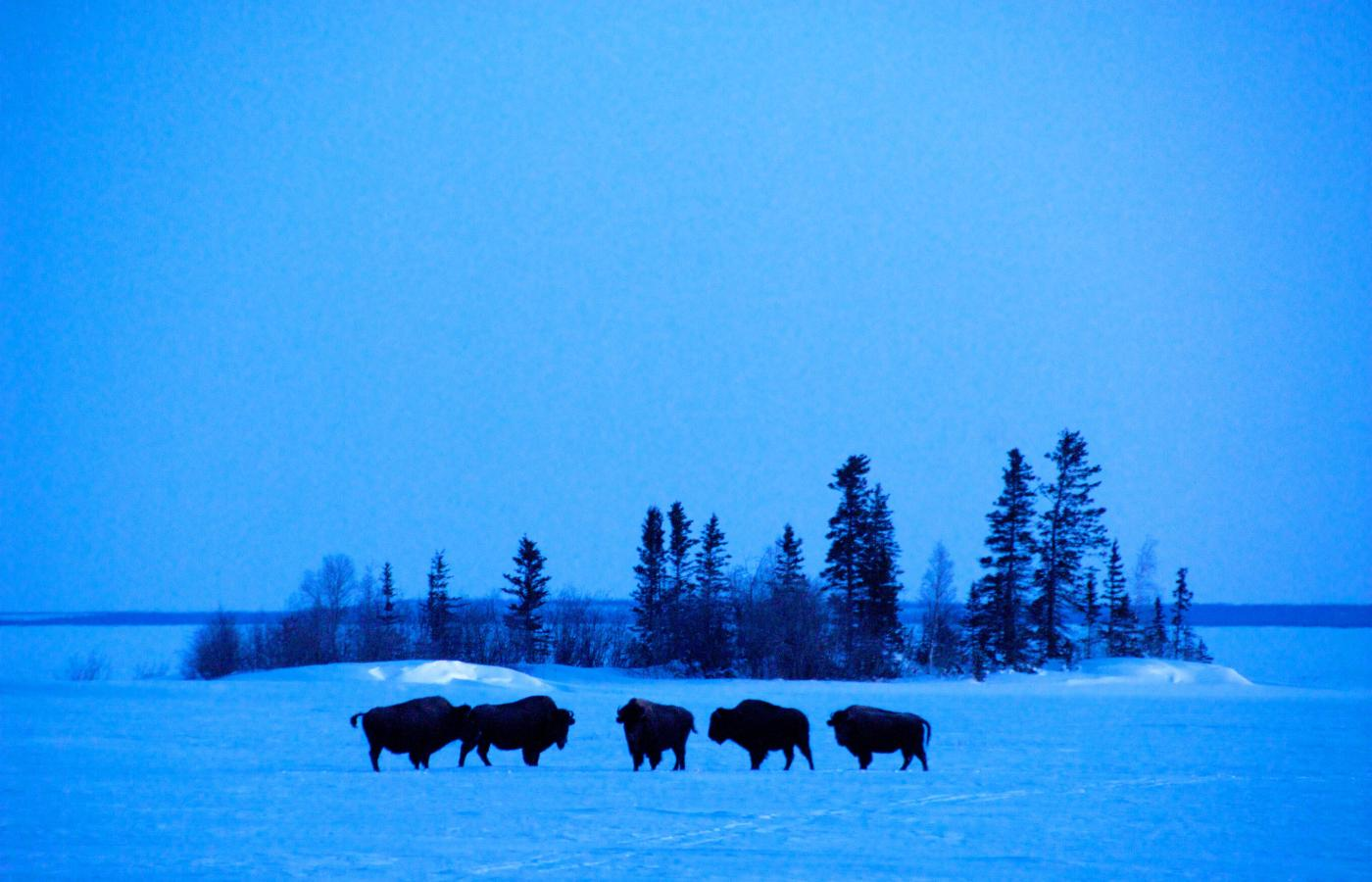 Wild bison on Great Slave Lake, in Canada's Northwest Territories
