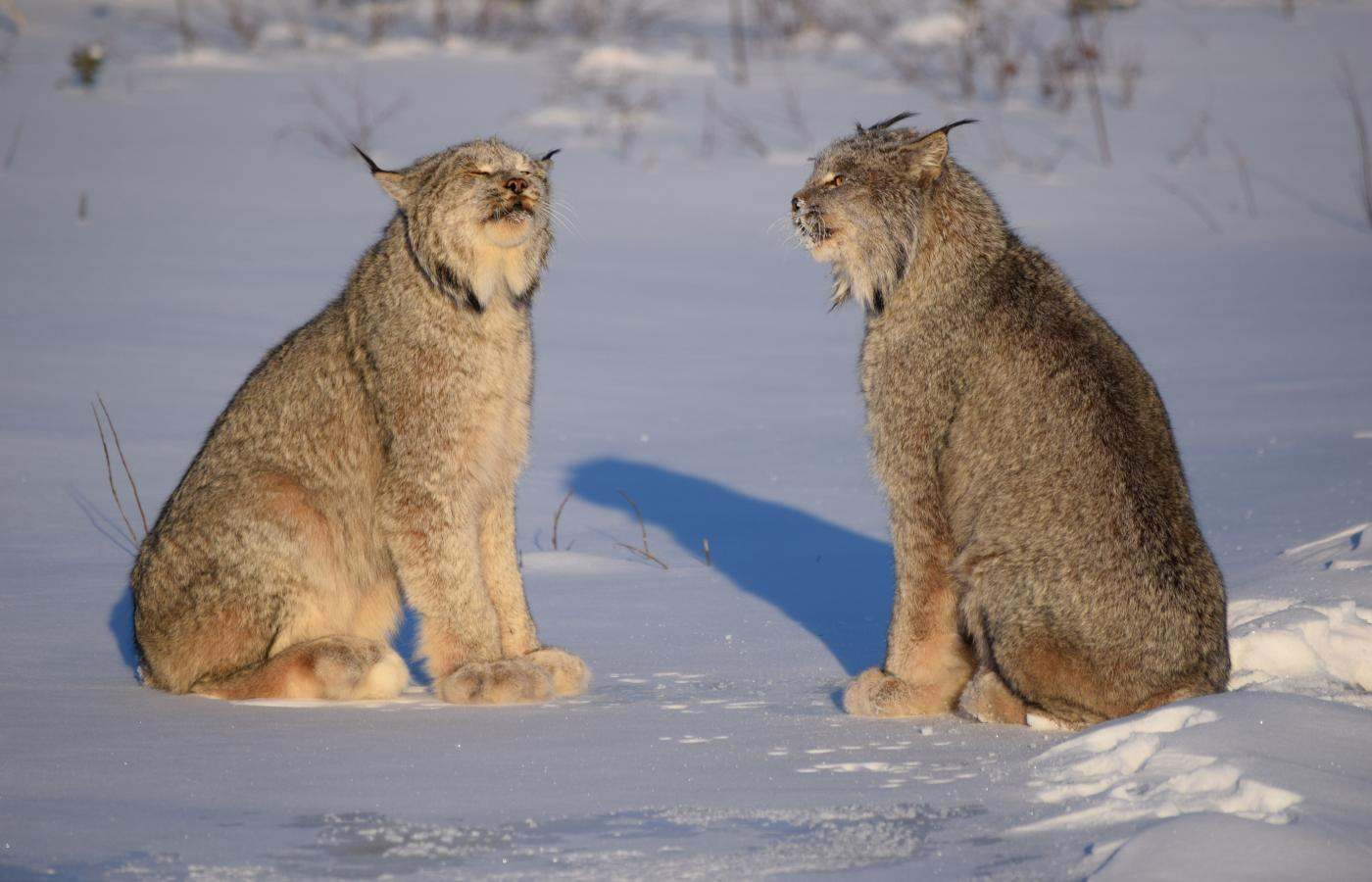 Lynx in the snow in the Sahtu region of the NWT