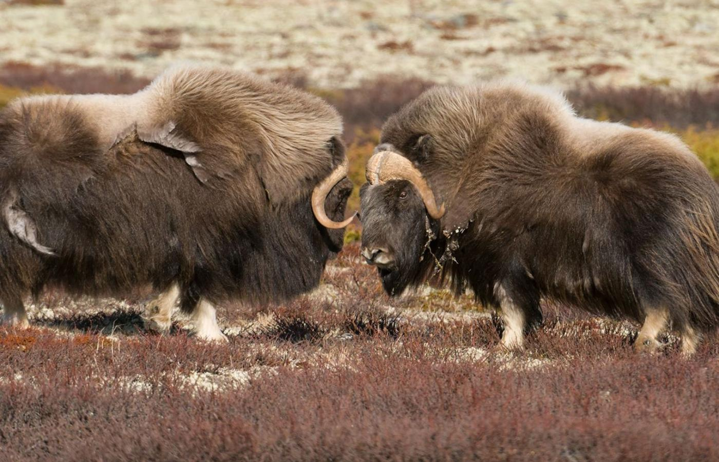 muskoxen fighting