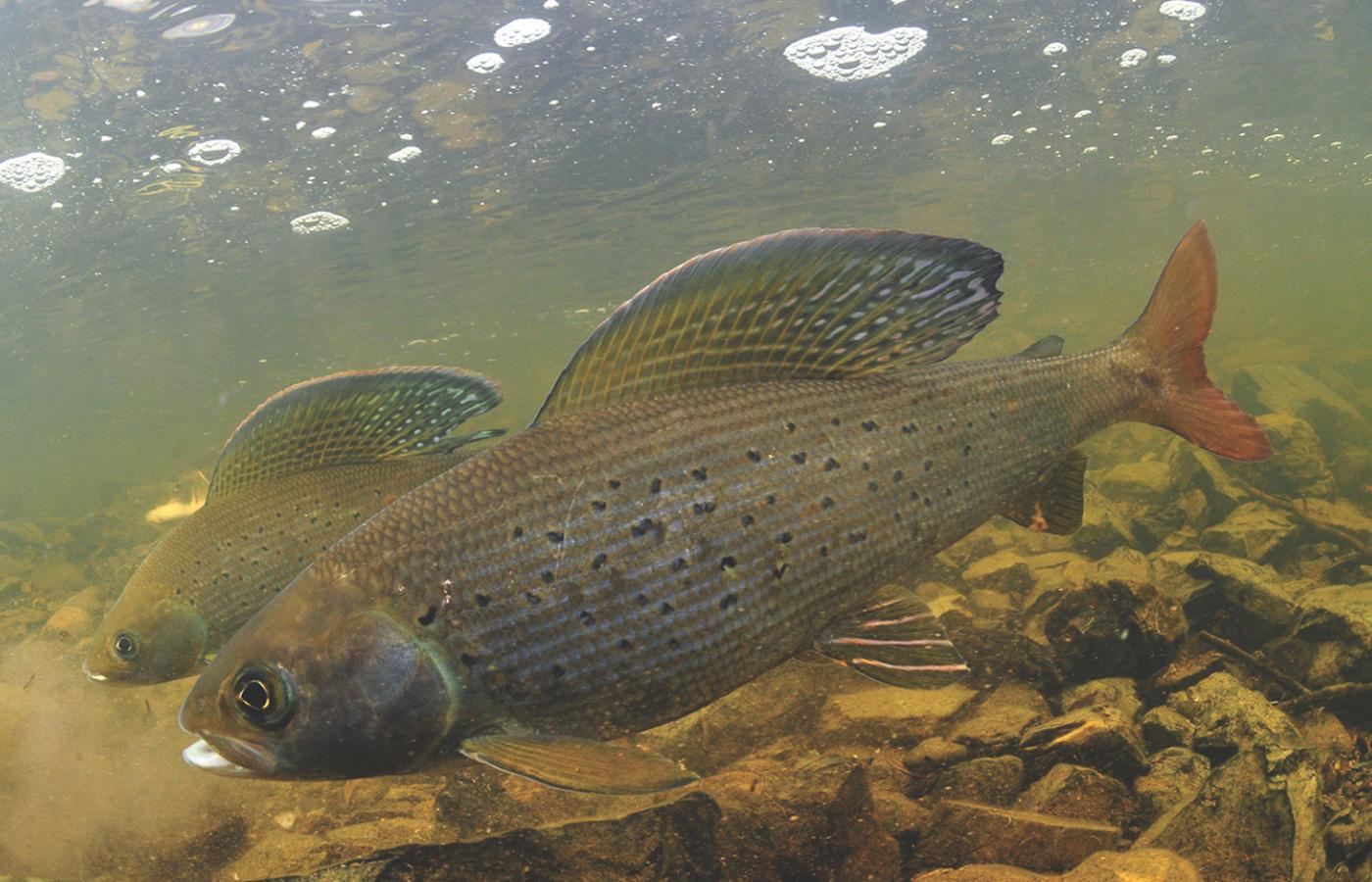 arctic grayling swimming underwater