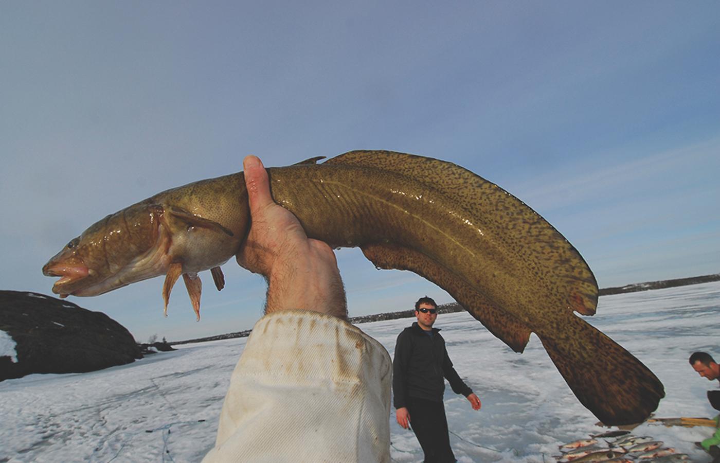burbot lingcod ice fishing