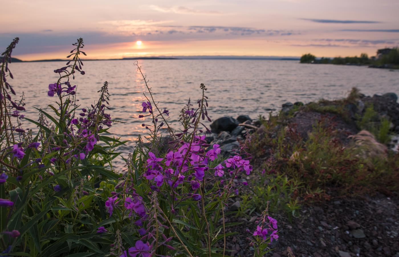 fireweed beside the lake at sunset