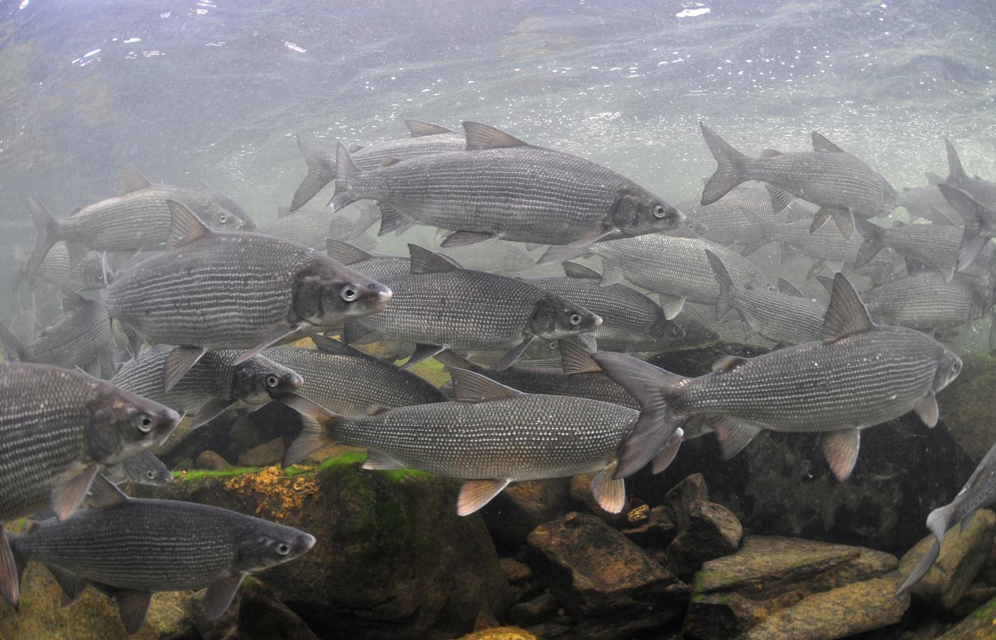 school of lake whitefish
