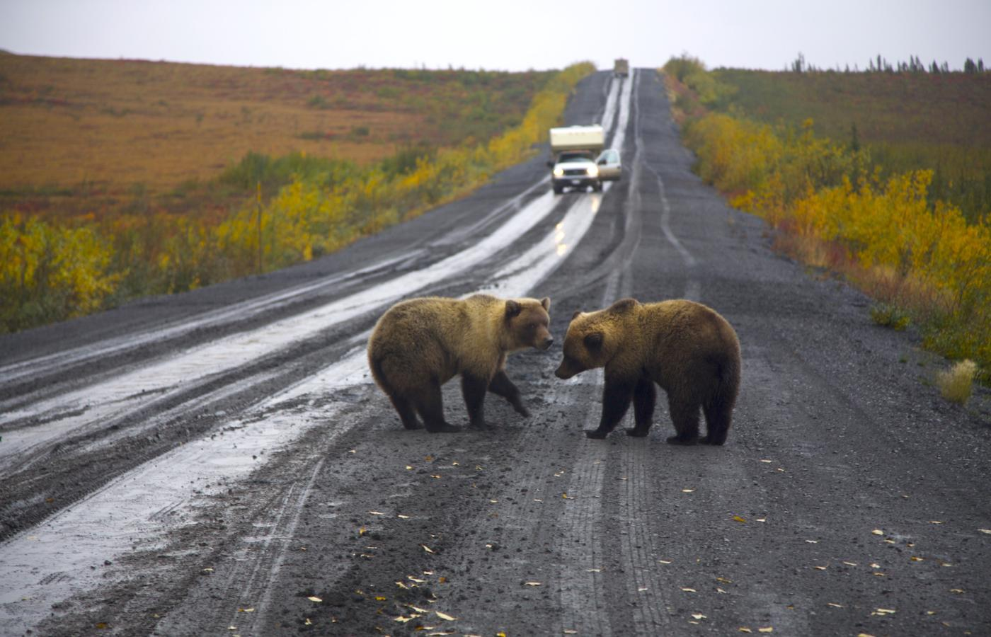 Grizzly bears on the the Dempster Highway in Canada's Northwest Territories