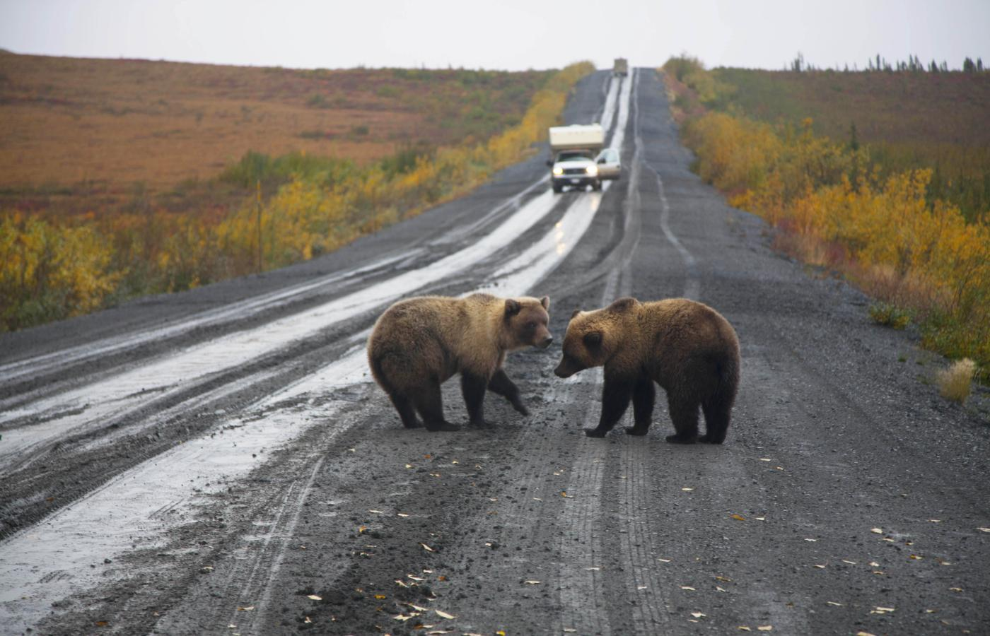 Bears along the Dempster Highway