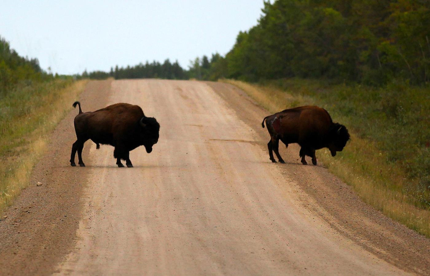 Wood bison on the highway in Canada's Northwest Territories